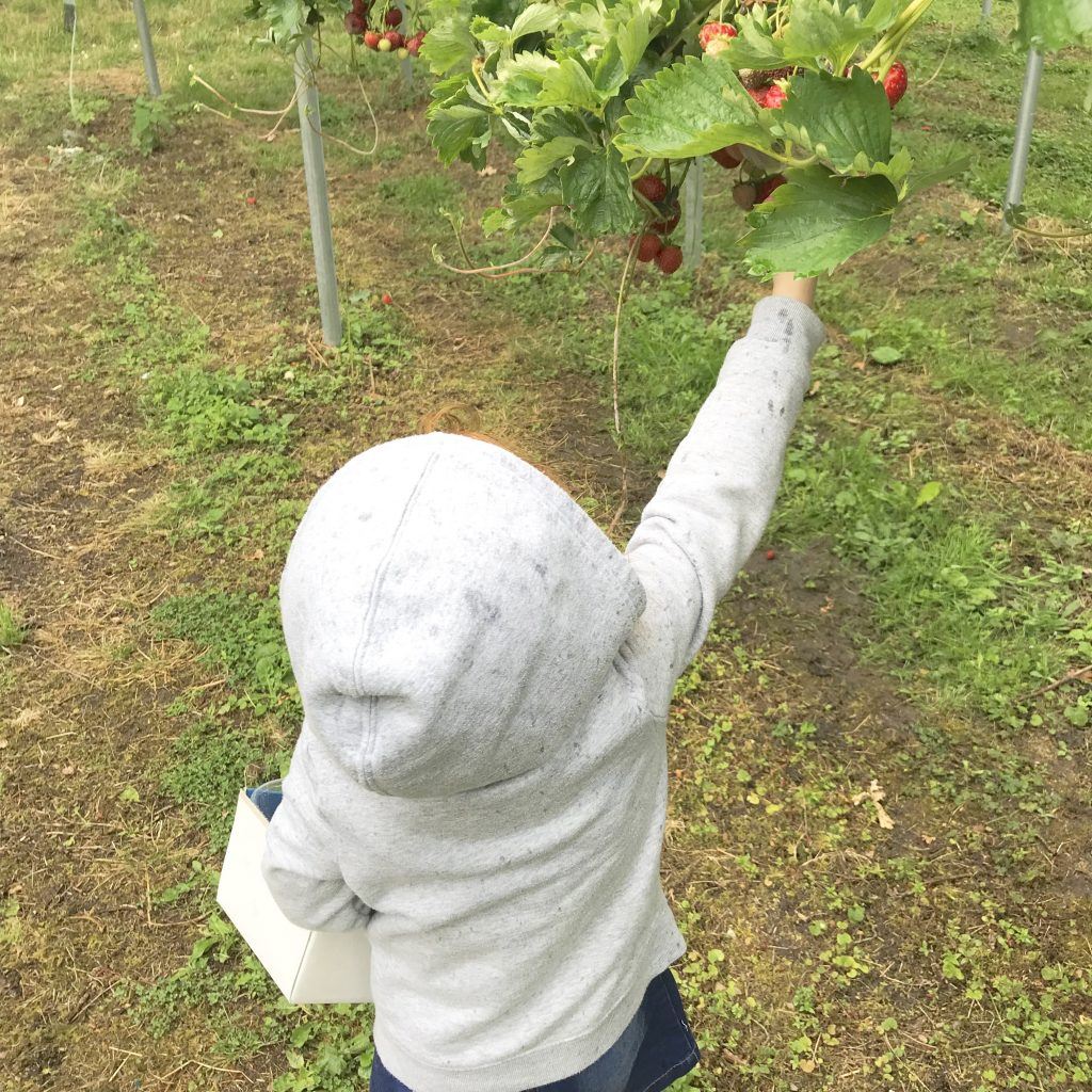 Amelia picking strawberries off the plant. fruit picking is on our toddler summer bucket list
