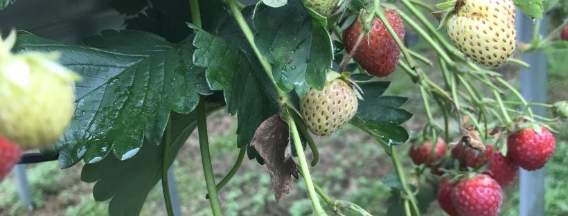 A photo of some strawberries on a strawberry plant